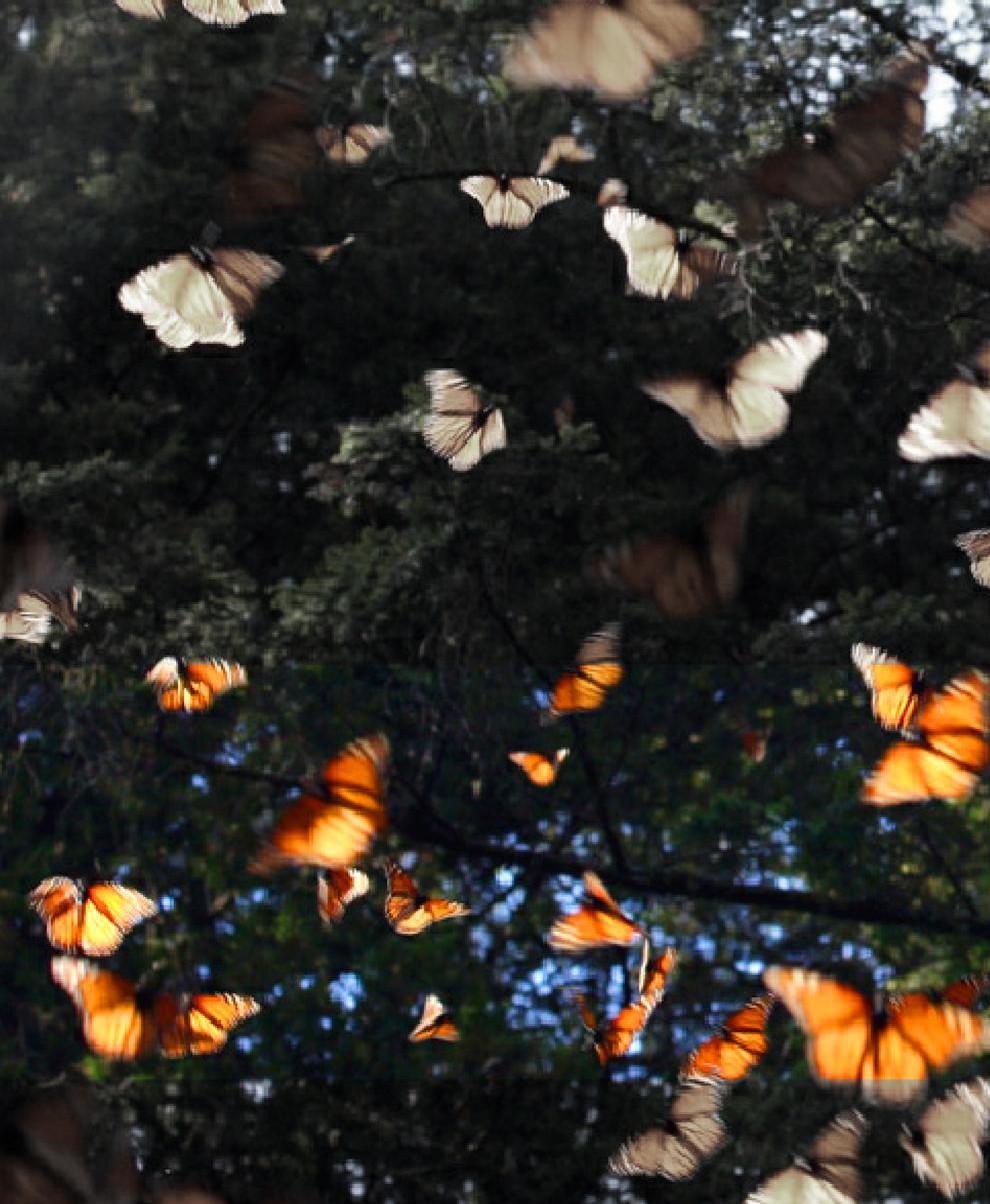 Vol de papallones